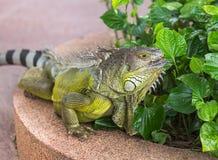 Close up portrait green iguana Iguana iguana resting in natural Royalty Free Stock Photos