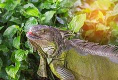 Close up portrait green iguana Iguana iguana resting in natural Royalty Free Stock Photography