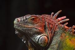 Close up portrait of green iguana male on black Royalty Free Stock Photo