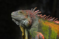 Close up portrait of green iguana male on black Stock Images