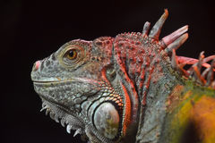 Close up portrait of green iguana male on black Stock Photography