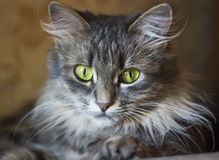 Grey cat with big yellow eyes. Close-up portrait of a grey cat with big yellow eyes royalty free stock photos