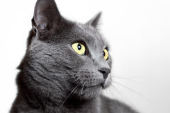 Close-up portrait of grey cat isolated on white Stock Image
