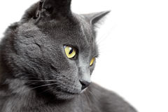 Close-up portrait of grey cat isolated on white. Close-up portrait of a grey shorthair cat isolated on white background Stock Photography