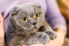 Close up portrait of grey fluffy cat on owner hand. Fat satisfied cat with big yellow eyes. Home pet care and friendship.  Royalty Free Stock Images