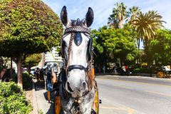 Close up portrait of grey horse in a street of Andalusia, Spain. Royalty Free Stock Images