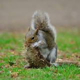 Grey squirrel on a playing with a tuft of grass Royalty Free Stock Image