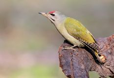 Close up portrait of grey woodpecker. Male. Royalty Free Stock Photos