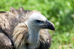 Close up portrait Griffon vulture Gyps fulvus. Looks around and looks for food for himself Stock Photo