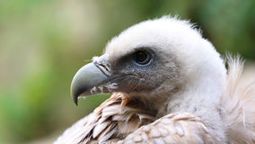 Close Up Portrait Of A Griffon Vulture Stock Photos
