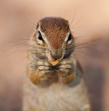 Close up portrait of groud squirrel. A close up portrait photo of a Ground Squirrel eating in the wild of Africa, in the Kalahari Royalty Free Stock Photo