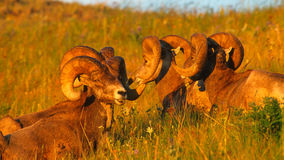 Close up Portrait Group of Big Bighorn Mountain Sheep Rams Royalty Free Stock Photography