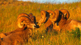 Close up Portrait Group of Big Bighorn Mountain Sheep Rams. Very close landscape portrait of four big Rocky Mountain Bighorn Sheep rams bedded down on a Royalty Free Stock Photo