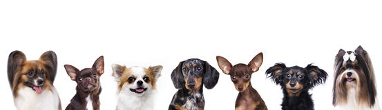 Close-up portrait, group of small decorative dog Royalty Free Stock Photos
