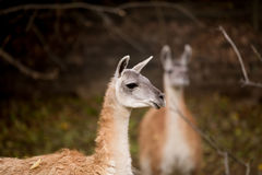 Close up portrait of Guanako llama Stock Images