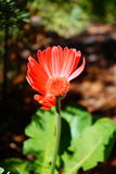 The close-up portrait of half red flower. Daisy floral, florist, Zinnia elegans stock photography