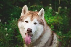 Close-up portrait of beautiful beige and white dog breed siberian husky sitting in the green grass and white flowers. Close-up portrait of happy beautiful beige Stock Photos