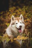 Close-up Portrait of happy Beige Siberian Husky in fall season on a forest background. Image of husky dog in autumn. Close-up Portrait of adorable and happy royalty free stock images