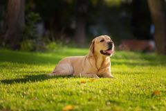 Close up portrait of the happy Labrador Retriever dog on the green lawn in the morning royalty free stock image