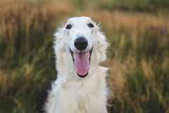 Close-up Portrait of happy russian borzoi dog in the field. Portrait of happy russian borzoi dog in the field. Close-up image of beautiful smiling dog breed royalty free stock photography
