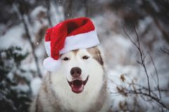 Close-up Portrait of happy Siberian Husky dog wearing santa claus hat in the winter forest on snow background. Close-up Portrait of cute, funny and happy royalty free stock photography