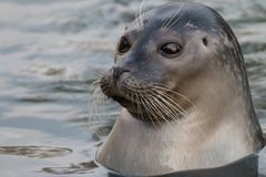 Close-up portrait of common seal in the water. Harbor seal Phoca vitulina. Cute marine animal with funny face and big black eyes stock photography