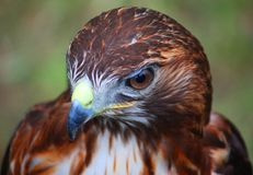 A close up portrait of a harris hawk Royalty Free Stock Photo