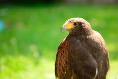 Portrait of a Harris hawk Stock Photo