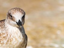 Close-up portrait of head of gray brown seagull bird looking into camera with curiosity on shore. Beautiful bright Royalty Free Stock Photography