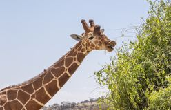 Close up portrait of head and neck of reticulated giraffe, giraffa camelopardalis reticulata, eating leave from adjacent shrub royalty free stock photo