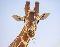 Close up portrait of head and neck of reticulated giraffe, giraffa camelopardalis reticulata, eating leaves and sticking tongue is stock image
