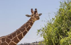 Close up portrait of head and neck of reticulated giraffe, giraffa camelopardalis reticulata, eating leaves and sticking tongue is royalty free stock photos