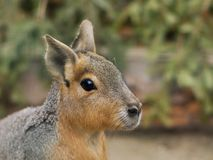 Close up portrait of the head of Patagonian Mara. This animal  is a relatively large rodent in the mara genus. Stock Image