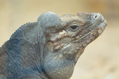 Close up portrait of head of a rhinoceros iguana Stock Image
