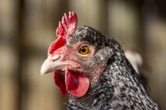Close-up portrait of a hen with pale pink bill and black and white patterned feathers. stock photos