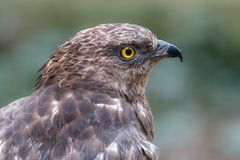 Close-up portrait of honey buzzard with blurred green background stock photos