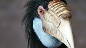 Close up portrait horn bill with blurry background in zoo