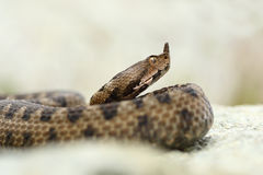 Close up portrait of horned adder Royalty Free Stock Photos