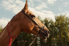 Close up portrait of horse in field outdoor Stock Images