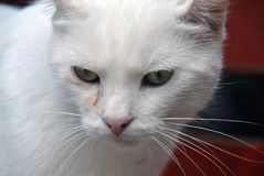 Close-up portrait of a house cat with while fur stock photography