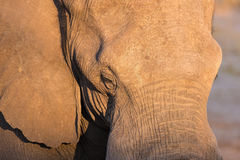 Close up and portrait of a huge African Elephant hit by warm sunset light. Wildlife Safari in the Kruger National Park, the main t Royalty Free Stock Image