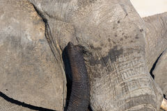 Close up and portrait of a huge African Elephant, with proboscis on the eye. Wildlife Safari in the Kruger National Park, the main Stock Image
