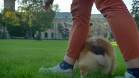Close-up portrait of human playing with corgy dog on green grass background. stock video footage