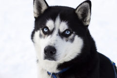 Close up portrait of husky Stock Images