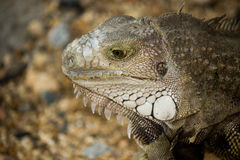 Close-up portrait of iguana Royalty Free Stock Photo