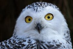 Snowy Owl. royalty free stock images