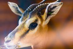 Close up portrait of impala or antelope in low light Royalty Free Stock Photos