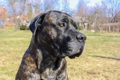 The close up portrait of Italian Cane Corso breed dog in the park at the summer time royalty free stock image