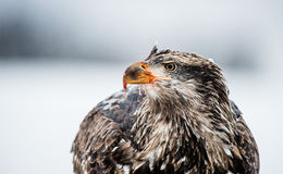 Close up portrait of juvenile Bald eagle Royalty Free Stock Photography