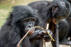 Close up Portrait of a juvenile bonobo. Cub of a Chimpanzee bonobo ( Pan paniscus). Royalty Free Stock Photography